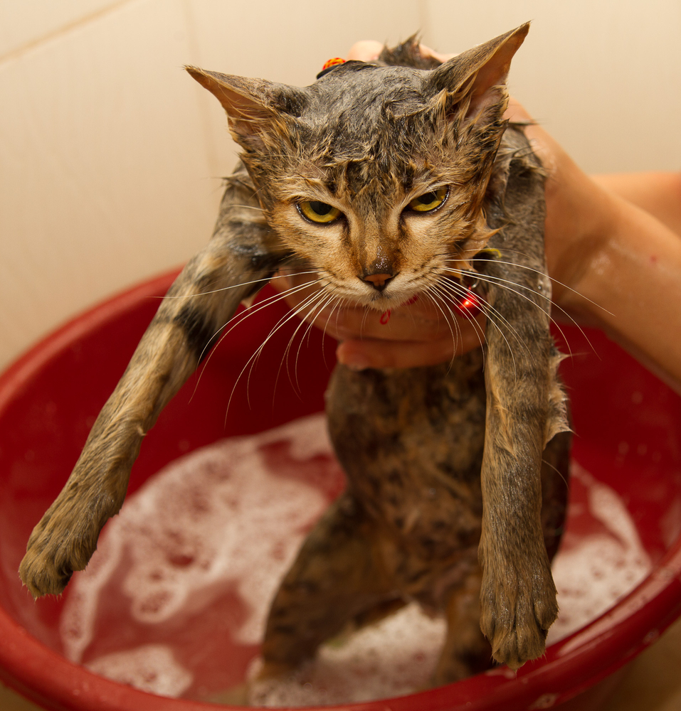Bathing Your Cat: A Good Idea or Not?
