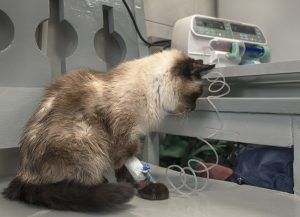 Fluid Therapy for Your Ailing Cat