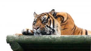 Why People Shouldn't Own Big Cats